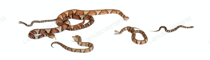 male and female and babies Copperhead snake or highland moccasin - Agkistrodon contortrix, poisonous