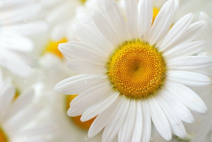 Macro of camomile flower.