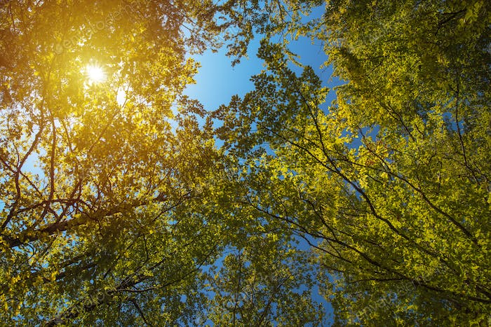 Low angle view of treetops in forest in summer