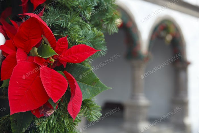 Poinsettia With Building Arches, La Palma