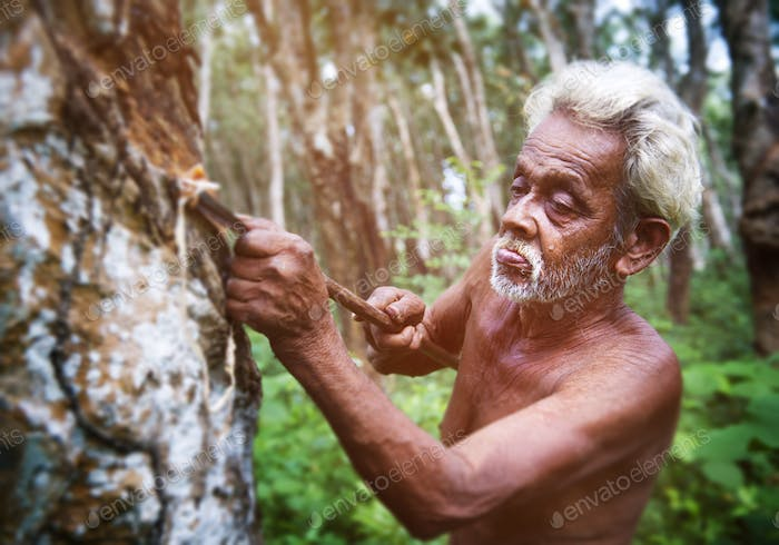 Sri Lankan Man Tappting Rubber Tree Growth Green Concept