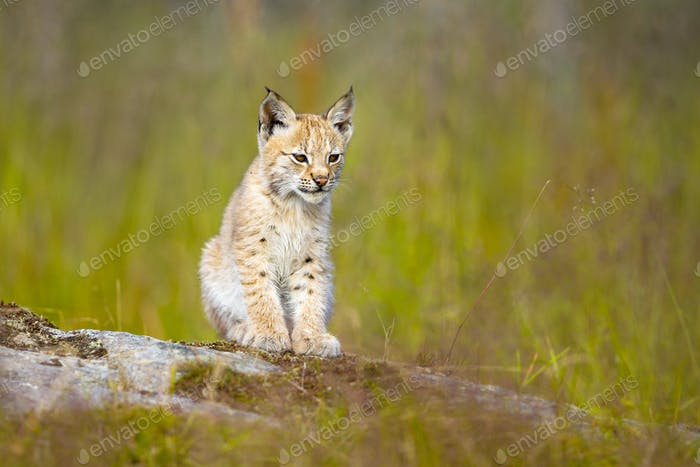 Cute lynx cub sits in meadow
