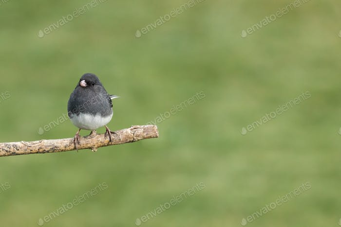Dark-eyed Junco - Junco hyemalis, a male perched on a branch