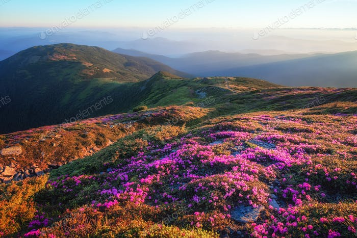 Mountains landscape with rhododendron