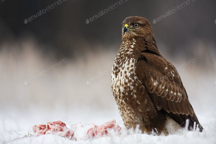Wild bird of prey sitting proudly with a kill nearby in winter
