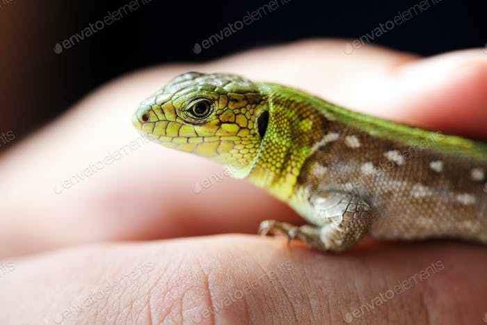 Green lizard macro view. Beautiful wild animal on hand. Shallow depth of field, soft focus