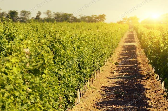 Green vineyards landscape under blue clear sky
