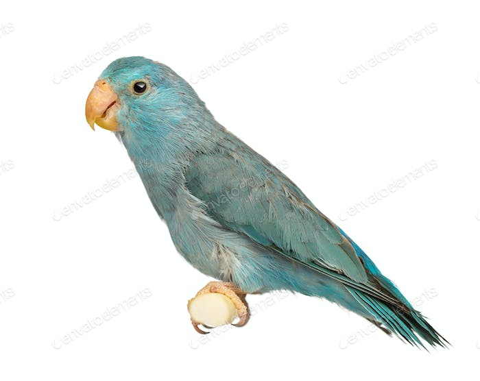 Pacific Parrotlet, Forpus coelestis, perched against white background