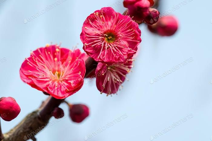 red plum blossom blooming