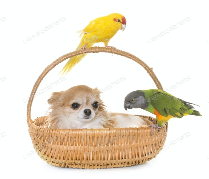 chihuahua and birds