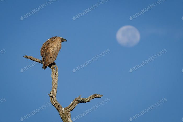 A white-backed vulture, Gyps africanus, perches on a dead branch, looking away, blue sky background