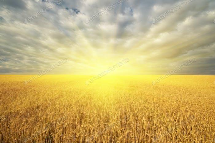 Wiese von goldenem Weizen und großer Sonnenschein