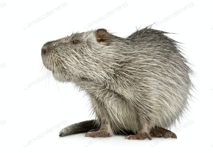 Thumbnail for Coypu or Nutria (Myocastor coypus)