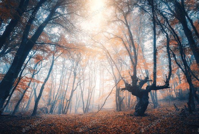 Increíble escena con árboles de otoño en la niebla. Bosque de otoño