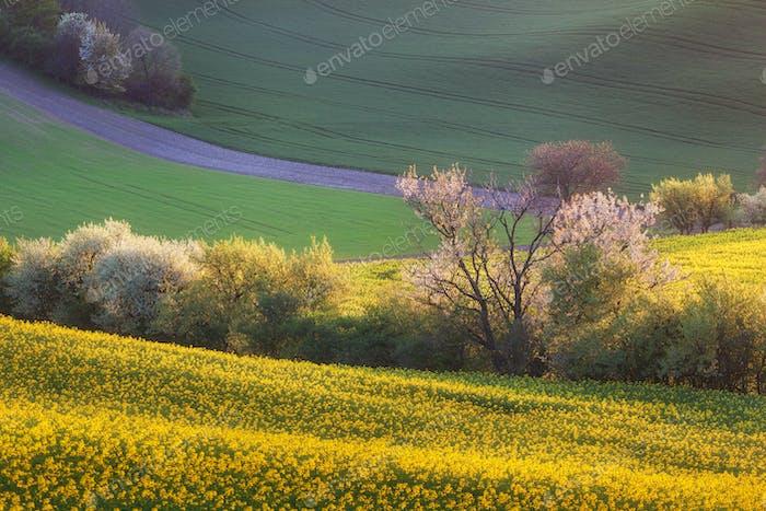 Schöne gelbe Rapsfelder mit blühenden Bäumen bei Sonnenuntergang.