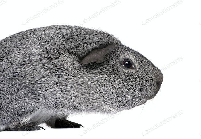 guinea pig (3 years)