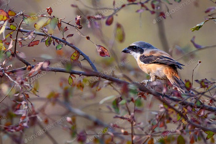 Long-tailed or rufous-backed shrike Lanius schach