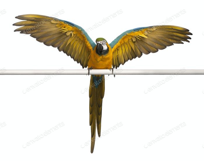 Blauer und gelber Ara, Ararauna, thront und flatternde Flügel vor weißem Hintergrund
