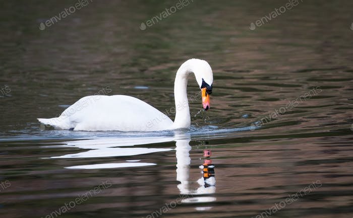 Mute Swan Swimming in the River Severn in England