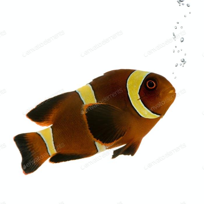 Goldstreifen Kastanien-Clownfisch - Premnas biaculeatus