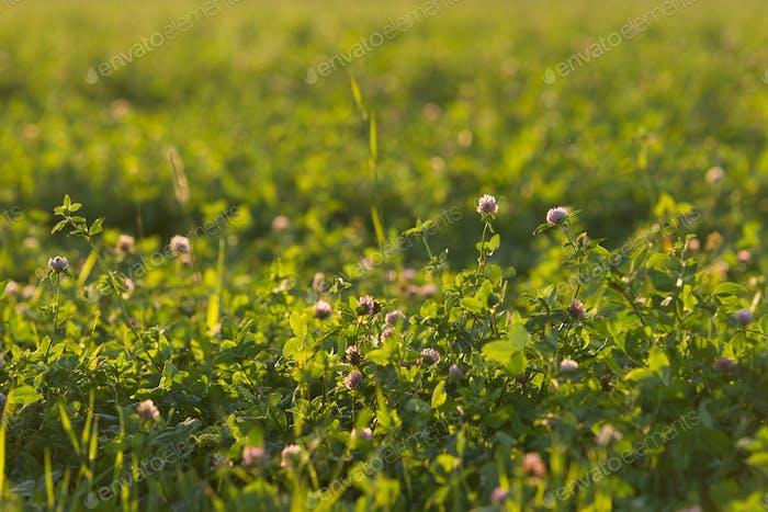 Clover field in the sun