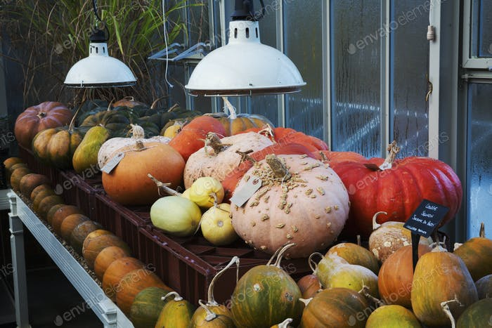 Pumpkins in the greenhouse  in winter at Le Manoir aux Quat'Saisons, Oxfordshire.