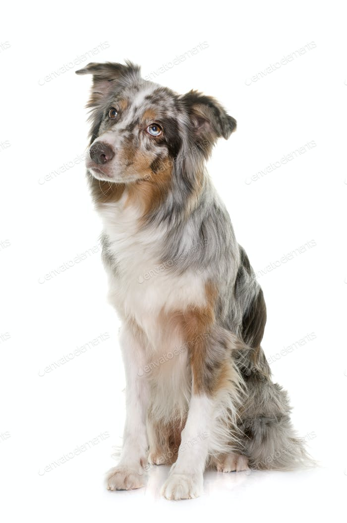 tricolor australian shepherd