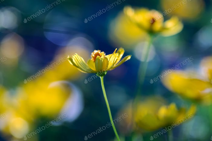 Close-up view of yellow cosmos flowers