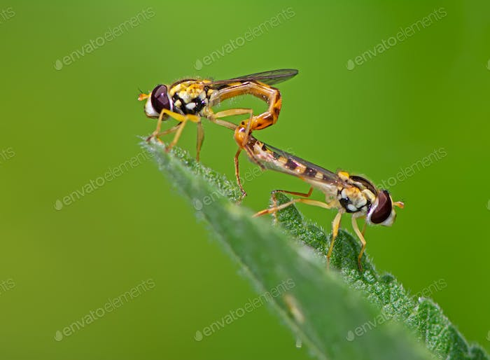 Hoverfly couple mating on a green leaf
