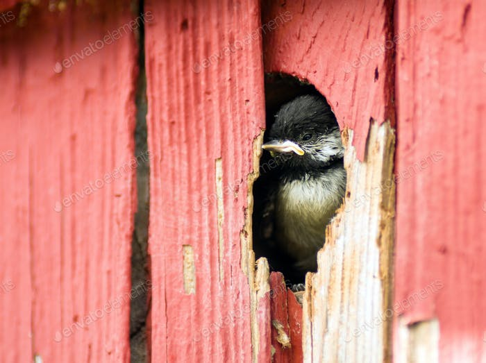 Baby Black-capped Chickadee Bird Animal Wildlife