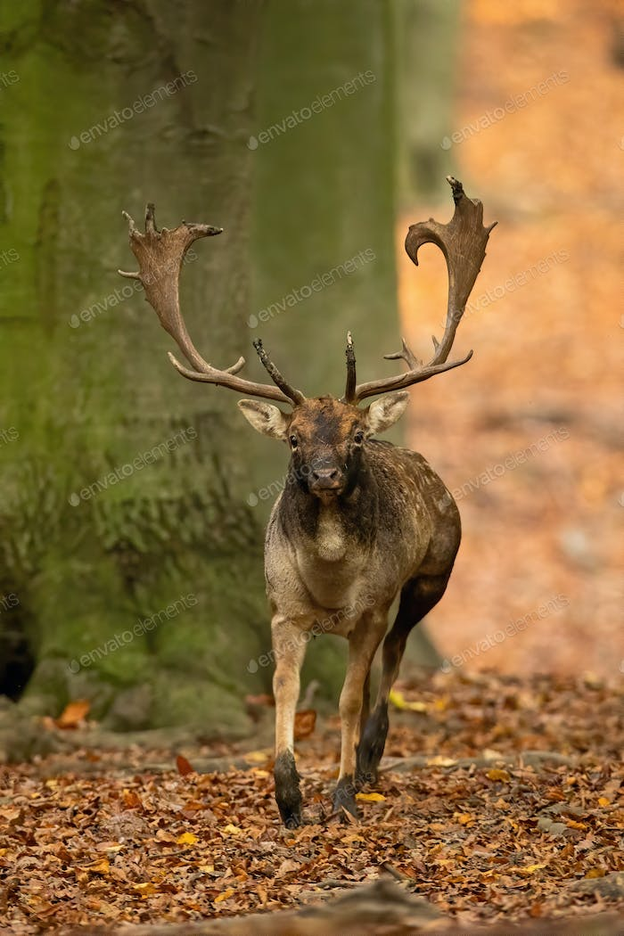 Fallow deer stag with antlers running forward and approaching in autumn forest