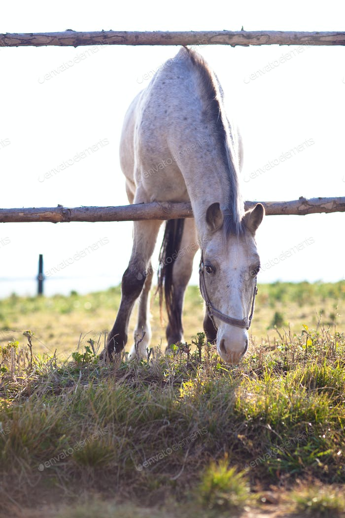 beautiful white horse grazing on grass on a sunny day (color ton
