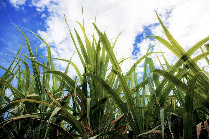 Leaves sugarcane at blue sky