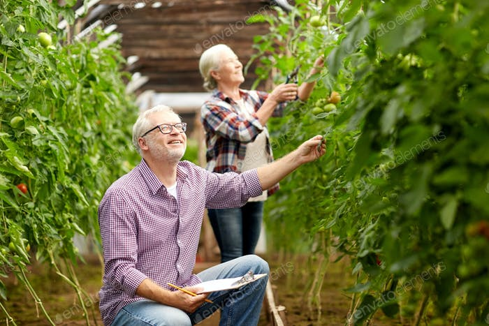senior couple growing tomatoes at farm greenhouse