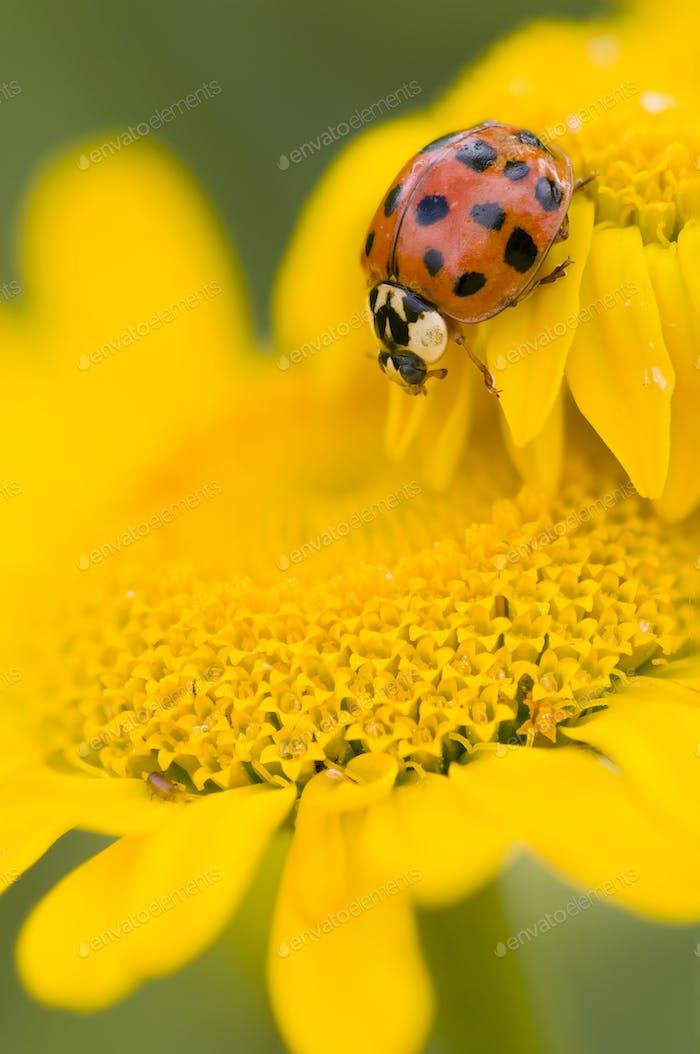 Marienkäfer auf gelber Blume, Coccinella