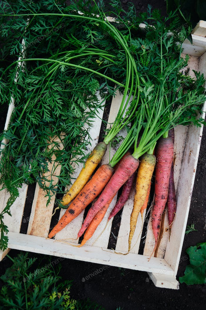 Colorful freshly picked carrots