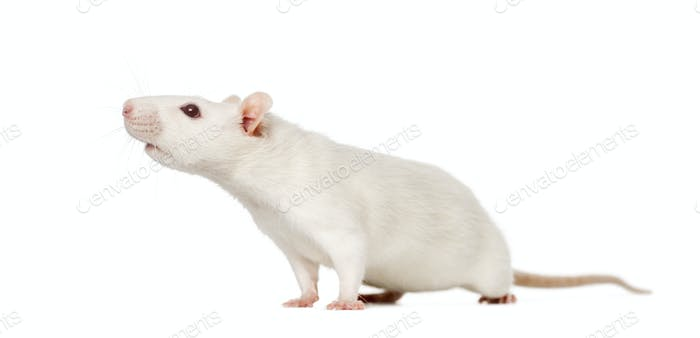 Rat (8 months old), isolated on white