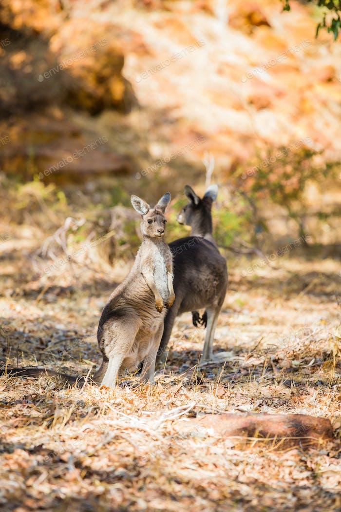 Two kangaroos in the wild