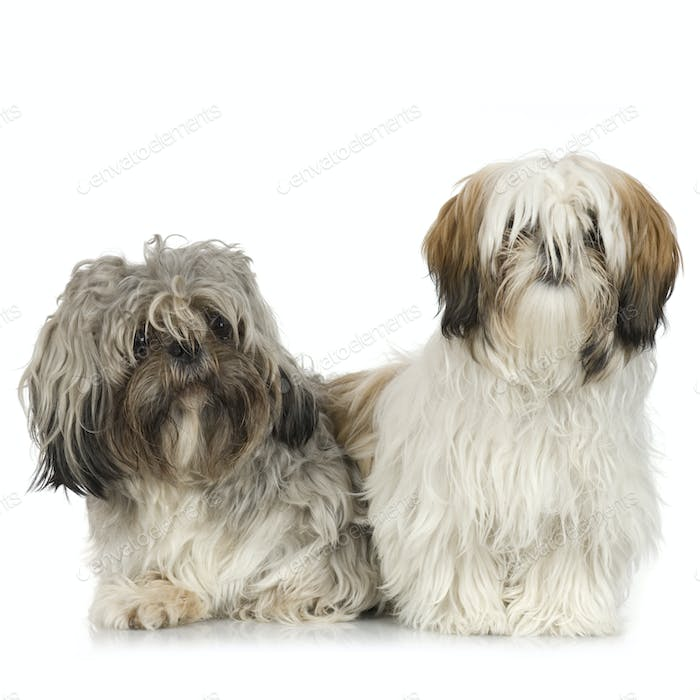 couple of Shih Tzu