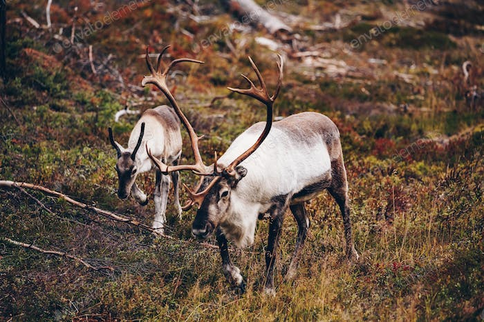 Reindeers walking near the road in autumn season in Finland