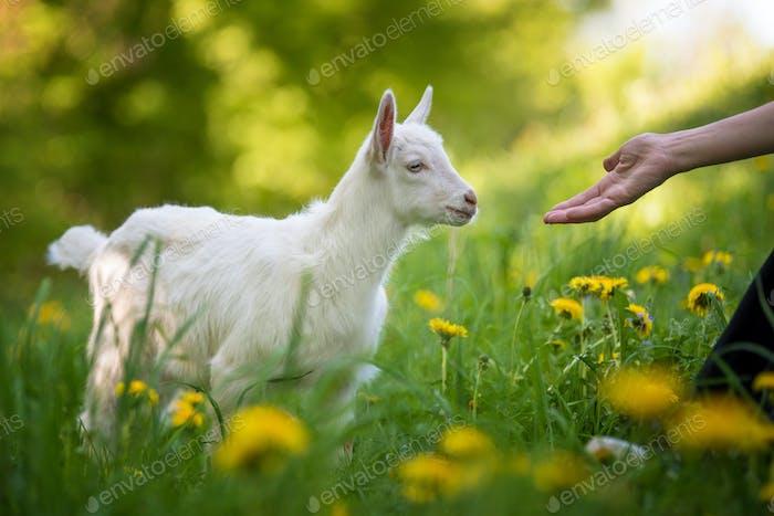 Ziege auf einer Weide