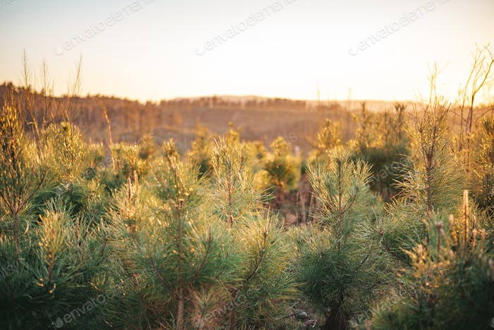 Young plantation of pine trees at sunset