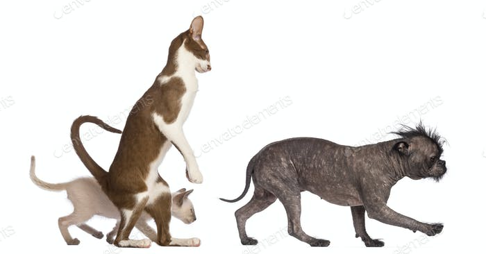 Adult Oriental Shorthair standing on hinds leg with kitten walking behind following crossbreed dog