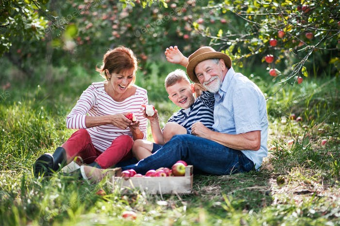 A senior couple with small grandson in apple orchard eating apples.
