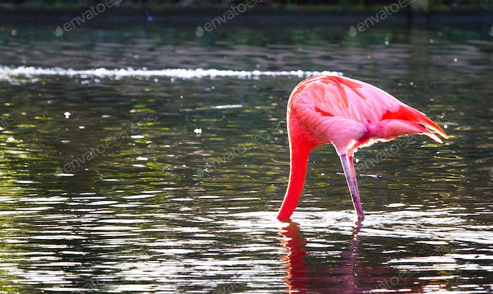 Caribbean Flamingo With Its Head Underwater