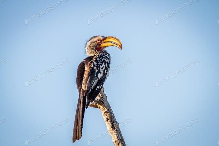 Yellow-billed hornbill sitting on a branch.