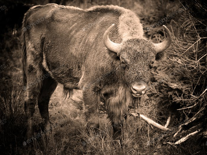 European Bison in the forest. Wisent. Bison bonasus