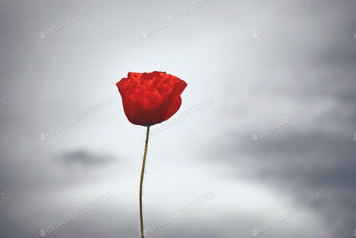 Red poppy flower on gray sky background.