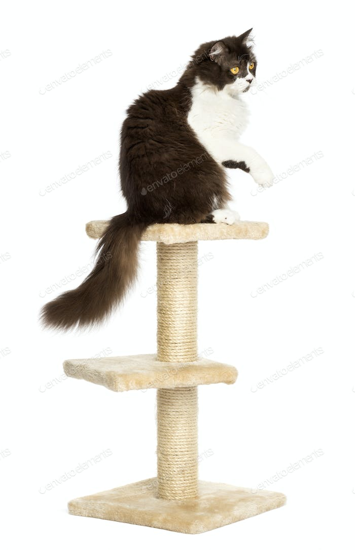 Rear view of a British longhair perched on top of a cat tree, pawing up, isolated on white