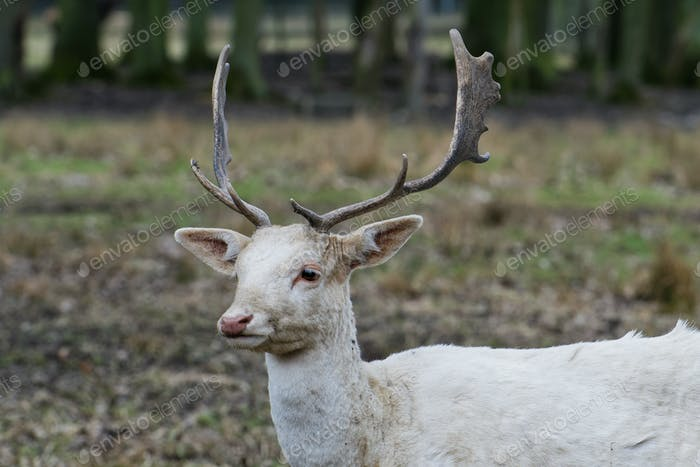 Herd of white fallow deer (Dama dama)